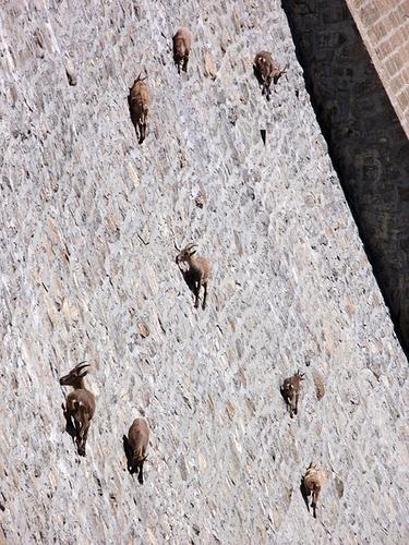 cabras1.jpg